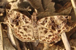 variegated skipper