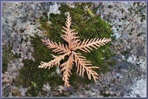 snowflake moss