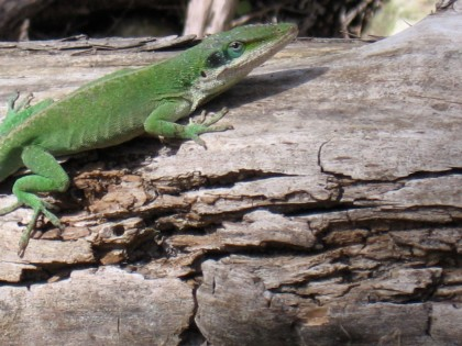 anole paused