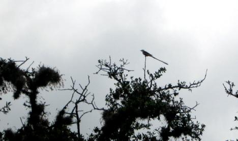 scissor-tailed flycatcher at mission san juan