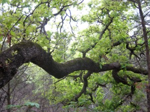 water oak, hill country, texas