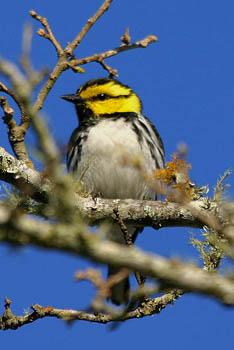 golden-cheeked-warbler
