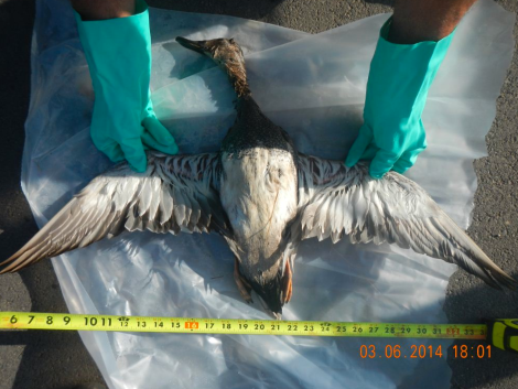 Dead duck discovered following on of Calumet's recent fuel spills into the San Antonio River.