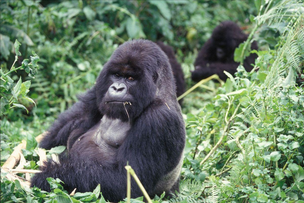 gorillas object to trump u2019s  u2018weaponized masculinity